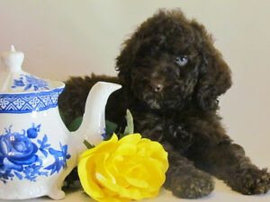 Ckc Moyen Poodle Puppies!