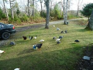 Ducks,Guineahens, and chickens for sale.