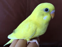 Tame Baby Budgies For Sale