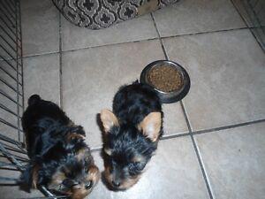 2 tiny femelles