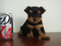 Teacup & Toy Size & Toy Size Yorkie Puppies - m/f's