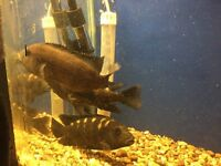 3 Large Malawi Bumble Bee Cichlids tropical fish
