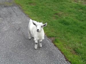 Pygmy Goats ( Female )