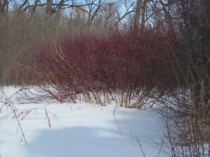 Bareroot Trees and Shrubs For Sale