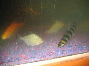 Fish for sale Regina Regina Area image 3