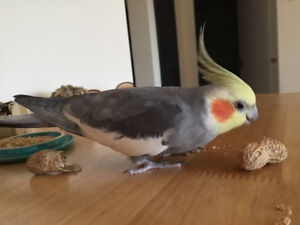 Funny & smart hand-raised male cockatiel (1.5 years old)