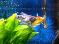 4 Large Gourami for Sale!