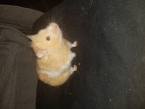 Young female teddy bear hamster needs loving home
