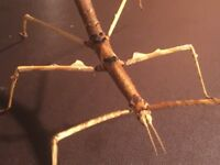 Parapatchymorpha zomproi Stick Insect nymphs