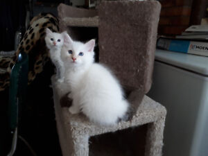ONLY 2 LEFT. MALE RAGDOLL, DOMESTIC KITTENS