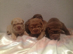 CKC reg. Chinese Shar-Pei Puppies Looking for Good Homes