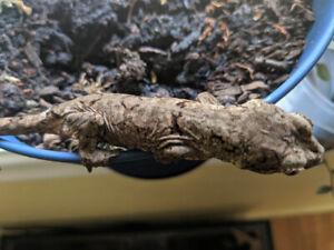 Pine isle Chahoua gecko