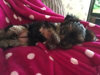 Teacup/Toy Yorkshire terrier puppy