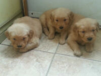 Golden retrievers for sale (à vendre)