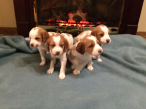 CKC Reg'd Brittany Spaniel Puppies, 2 of these 4 boys available