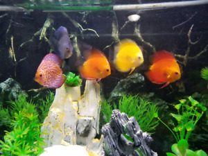 5 beautiful Discus for Sale