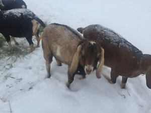 Nubian bucklings for sale