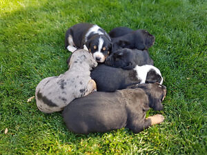 Catahoula /Cur pups 2 left available