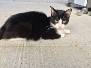 Cute 7 month old tuxedo kitten found!