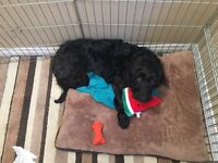 LOOKING FOR MY BLACK GOLDENDOODLE