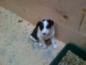 Border Collie x female puppy
