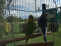 Two Budgies - Male & Female - With Cage
