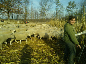 General Farm Worker with Sheep Experience Peterborough Peterborough Area image 4