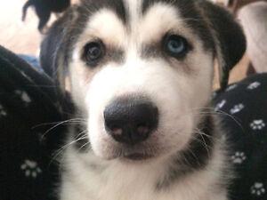 Siberian Husky Mix Puppies