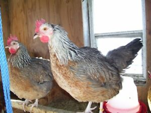 JANUARY SALE ON HERITAGE BREEDS OF CHICKENS AND ROOSTERS