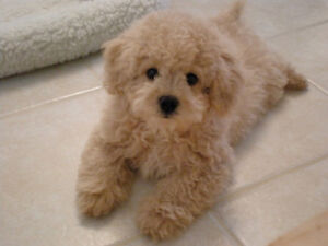 Looking For Small Hypoallergenic dog