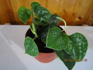 Silver Pothos - Low Light - (From Indonesia)