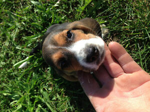 Beagle /hound dog