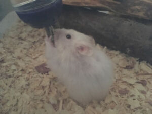 Teddy Bear Hamster with Cage