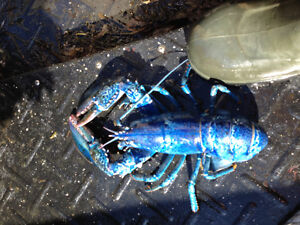 Extremely Rare Blue Lobster