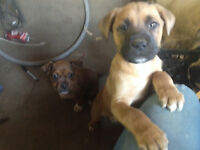 Mastiff pups- huge male with an old soul and unique female