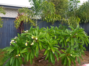 Frangipani Tree. Mature and healthy.