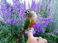 Spécial summer - baby conure Yellow-side