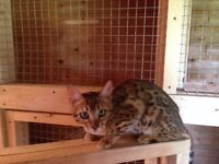 Bengal Kittens Now available!!