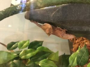 Juvenile Red Crested Gecko