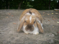 Holland Lop Female Rabbit