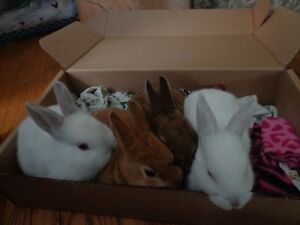 Beautiful Baby bunnies ready for adoption Peterborough Peterborough Area image 5