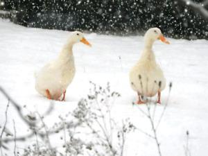 Male and female peking ducks