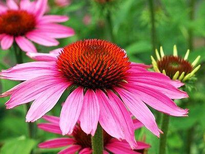 """Ein wunderschöner Sommerblüher: die """"Echinacea purpurea"""", der Sonnenhut !"""