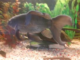 Indoor goldfish