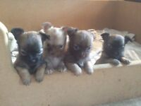 KC Registered Chihuahua Puppies for sale
