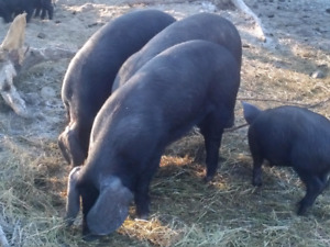 Weaner and feeder pigs