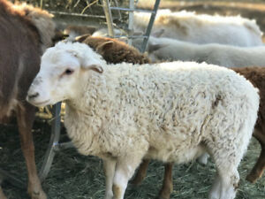 Katahdin sheep for sale $200