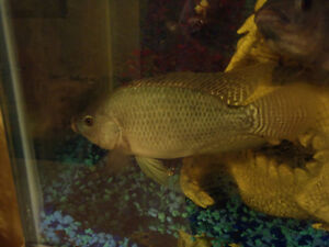 Tilapia Fish for Aquaponics