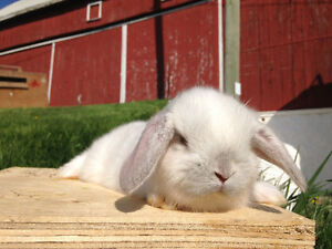 LAST TWO ADORABLE HOLLAND LOP BUNNIES FOR SALE