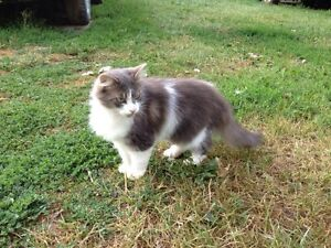 STILL MISSING! PYRO- Light grey and white cat.